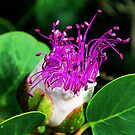 The Caper Flower by Xandru