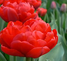 tulips sheer red by LisaBeth