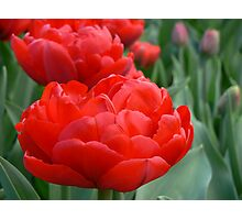 tulips sheer red Photographic Print