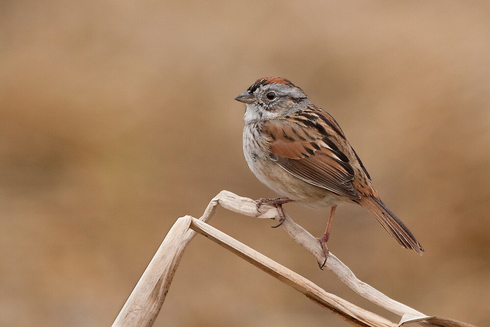 Easter morning Swamp Sparrow. by Daniel Cadieux