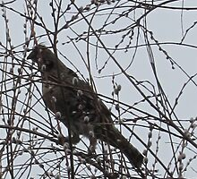 Partridge in a Pussywillow Tree by bountified