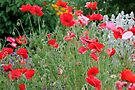 Poppies by Jan  Tribe