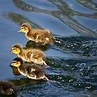 Mallard Duck Chicks Racing by Paul Collin