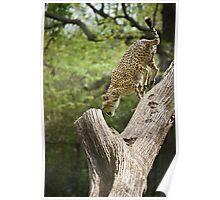 Cheetah Leaping Poster