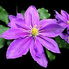 Clematis in the Shadows by Kate Eller