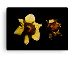 Backlit Daffodils Canvas Print
