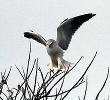 Black-Shouldered Kite landing by ajay2011
