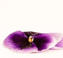 Purple Pansy II by Sara Hazeldine