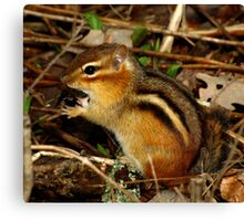 What?  It's a Delicacy (Eastern Chipmunk) Canvas Print