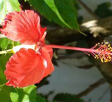 Jamaican Orange Hibiscus by Mowny