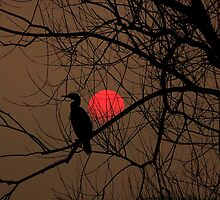 cormorant at sunset by larry flewers