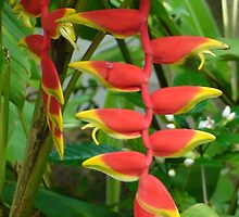Heliconia by Mowny