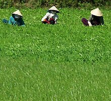 Phan Thiet - Ricefield. by Jean-Luc Rollier