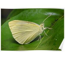 Cabbage White Butterfly - Pieris rapae Poster