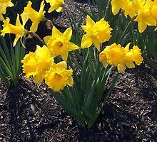 Yellow Daffodil by AmandaWardrop