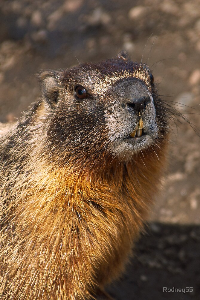 Marmot Portrait by Rodney55