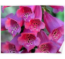 Sun-Kissed Foxglove, Wickedly Wonderful and Seductive Poster