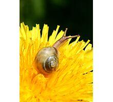 Snail visiting Dandelion Photographic Print