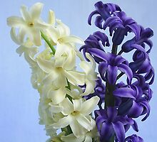 White and mauve hyacinth by MONIGABI