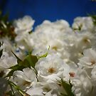 Mt. Fuji Cherry Blossom Flowers In Full Bloom by Vivienne Gucwa