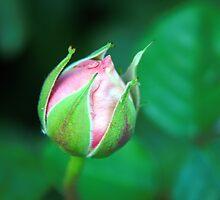 Pink rosebud by MarthaBurns