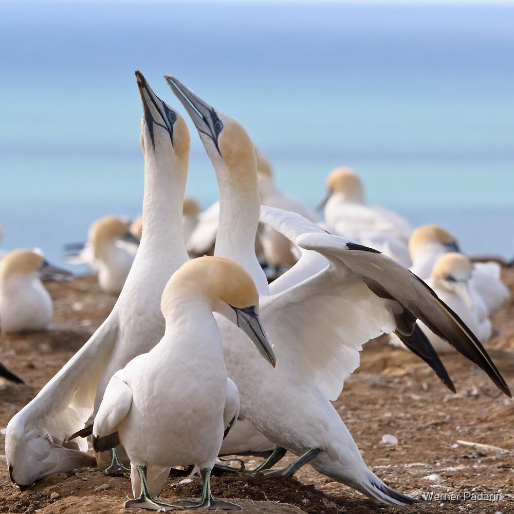 Gannets by Werner Padarin