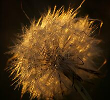 Dandy Lion in the light by MIchelle Thompson