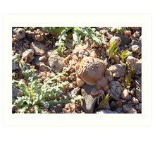 Desert Horned Lizard - Owens Valley Art Print