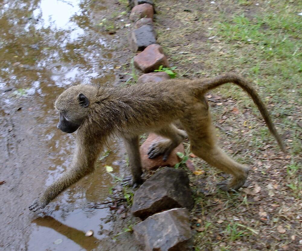 Wet Monkey, Victoria Falls, Zimbabwe, Africa by Irene  van Vuuren
