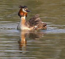 Grebe by Val Saxby