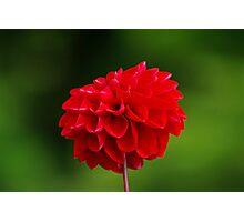 Red Dahlia Photographic Print