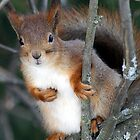 A red squirrel on a tree by Susanna Hietanen