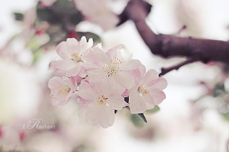 Cherry Blossom by fRantasy