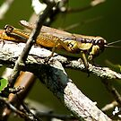 Grasshopper at Vareen Gardens by TJ Baccari Photography