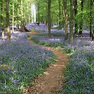bluebells by adam63745