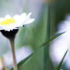 Daisy Dreams by Llawphotography