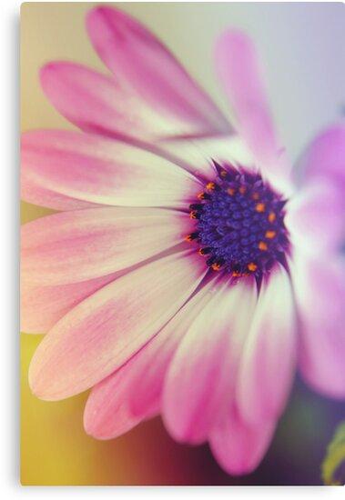 Oh Daisy  by fixtape