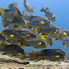 Oriental sweetlips by MotHaiBaPhoto Dmitry & Olga
