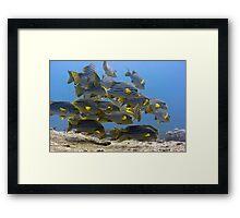 Oriental sweetlips Framed Print