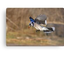 Have nut - Will travel - Blue Jay Metal Print