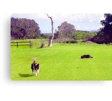 Capetown Collies, South Africa Canvas Print