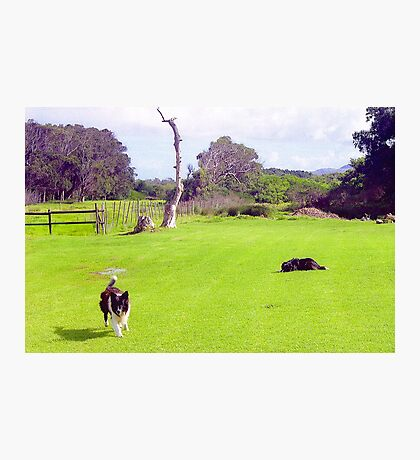 Capetown Collies, South Africa Photographic Print