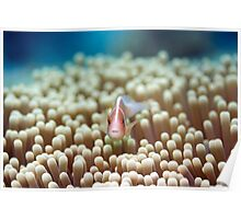 Anemone and Pink clownfish Poster