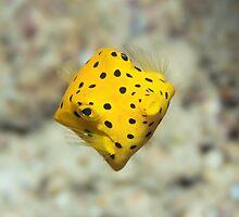 Black-spotted boxfish by MotHaiBaPhoto Dmitry & Olga