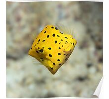 Black-spotted boxfish Poster