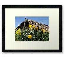 Slightly faded daffodils Framed Print