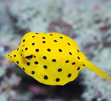 Black-spotted boxfish by MotHaiBaPhoto Dmitry & Olga