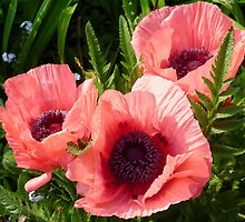 Pink Poppies by Ruth S Harris