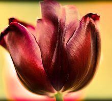Vibranr tulip by StefanFierros
