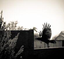 To hatch a crow, a black rainbow... by Richard Pitman